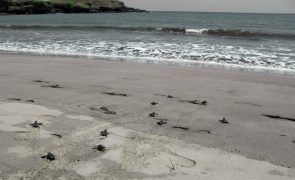 Ambientalistas cabo-verdianos defendem que turismo pode ajudar a preservar tartarugas